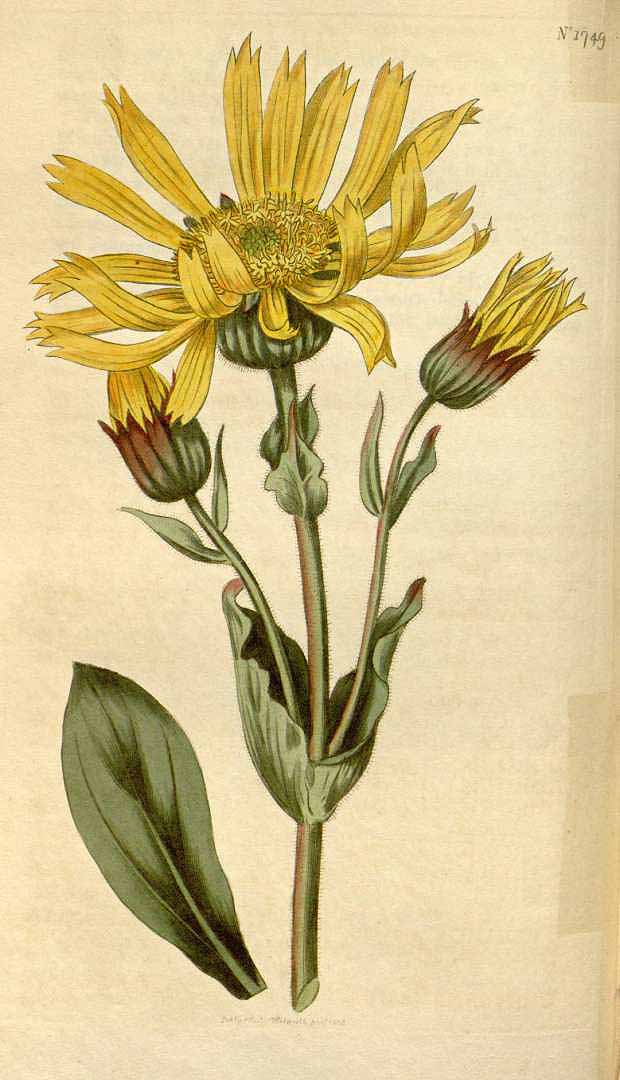 Arnica antiinflamatorio natural