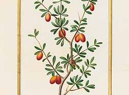 argania spinosa-argán