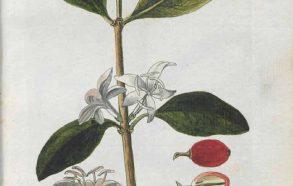 coffea arabica-plant